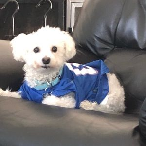 """New picture of Topper our 10 old Maltipoo, Oct 15, 2021. Our """"baby""""."""